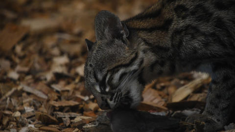 Close up side view of margay wildcat eating rat Footage
