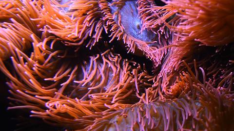 Close up pink sea anemones in water of aquarium Live Action