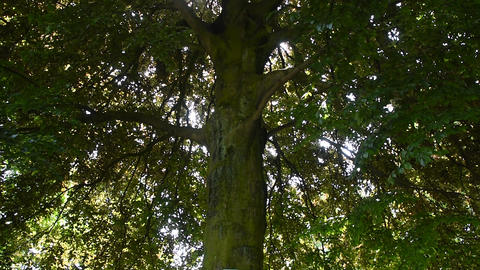 Close up tilt of big green tree with sunshine Footage