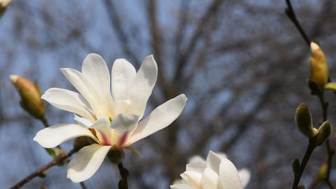 White magnolia flower head close up Live Action