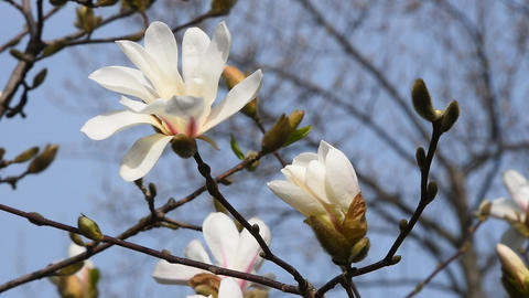 White magnolia flower and bud close up Live Action