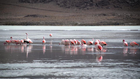 Flock of Flamingos in a Lake Footage