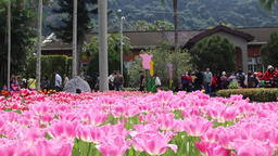 Display of pink tulips variety fringed or fancy frills 画像