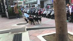 Taiwanese dog walker Ximen central Taipei Taiwan Footage