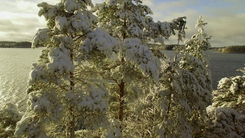 Aerial view of snowy pine treetops by an unfrozen lake in early winter Live Action