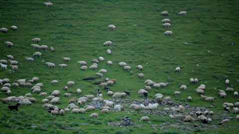 Sheep in Mountains Summer View Footage