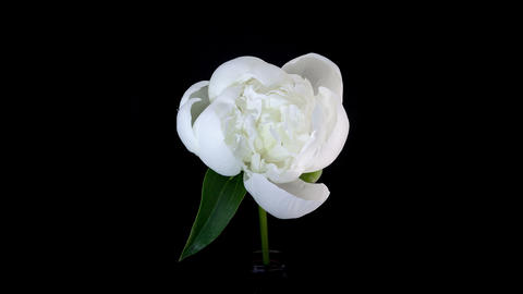 White peony flower blooming timelapse 4K Footage