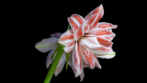 Amaryllis Dancing Queen Blooming Timelapse 4K Footage