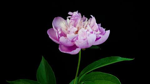 Pink peony flower blooming timelapse 4K Footage