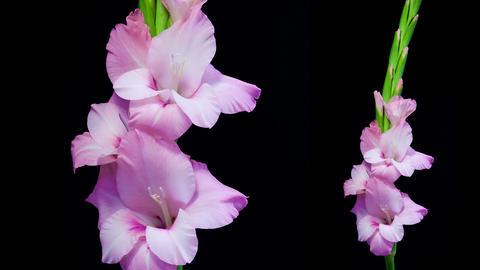 Pink gladiolus flower blooming timelapse 4K Footage