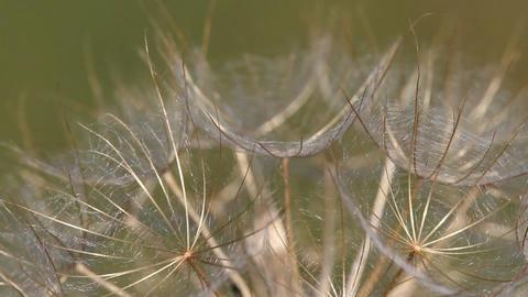 Dandelion Close Up Nature Background stock footage