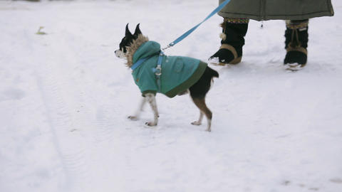 A small chihuahua dog dressed in a green jacket is trembling and running along a 영상물