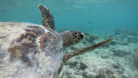 Sea Turtle Swimming Near Coral Reefs In Shallow Sea Water Live Action