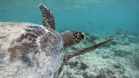 Sea Turtle Swimming Near Coral Reefs In Shallow Sea Water Footage