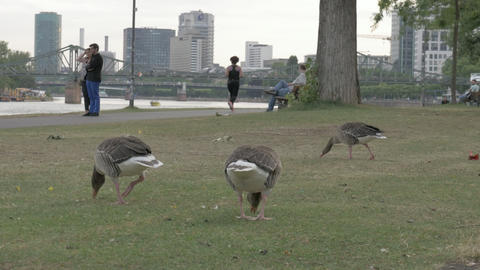 Frankfurt, Germany, June 2017 - City ducks eating near river bank in Frankfurt ภาพวิดีโอ