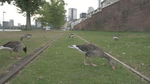 City ducks eating near river bank in Frankfurt ภาพวิดีโอ