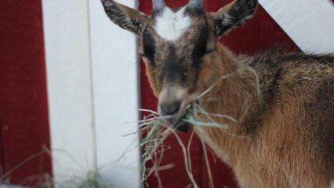 AML 0125 pigmy goat eats Footage
