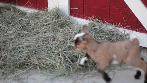 Baby pigmy goat run Stock Video Footage