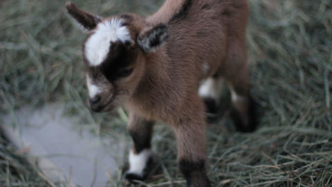 Baby Pigmy Goat Close Up stock footage