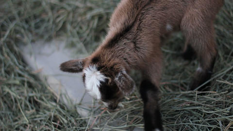 Baby pigmy goat close up Stock Video Footage