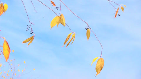 branch with yellow leaves Stock Video Footage