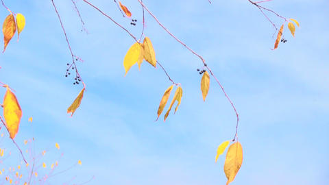 Branch With Yellow Leaves stock footage