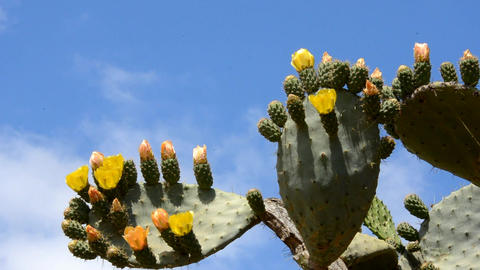 prickly pear Stock Video Footage