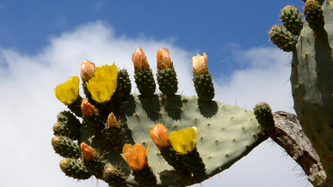 prickly pear Footage