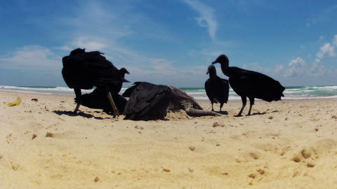 Time-lapse of Wild Vultures eating Dead Turtle Stock Video Footage