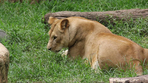 Lion 04 Footage
