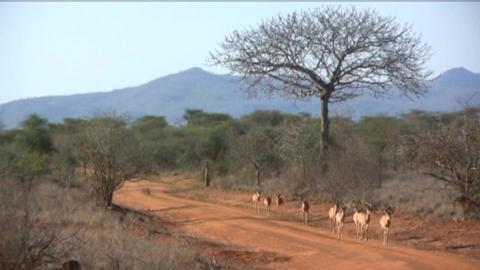 gazelle Footage