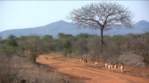 gazelle Stock Video Footage