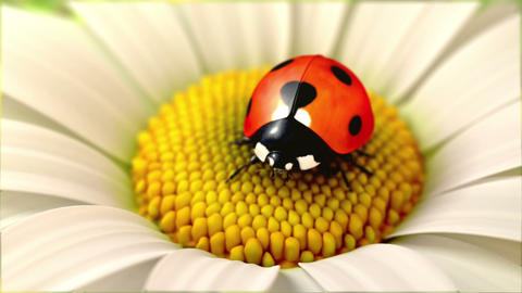 Daisy flower with a ladybird Stock Video Footage