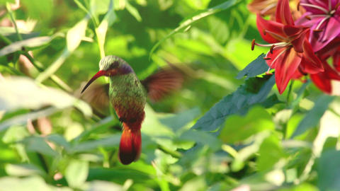 Humming Bird stock footage
