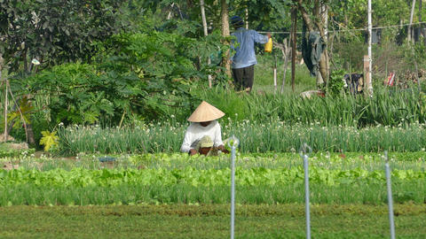 Vietnamese lady collects vegetables at the countryside Footage