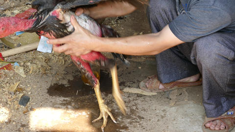 Rooster used for cock fighting in Vietnam Footage