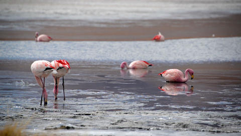 Flamingos Feeding in a Lake Footage