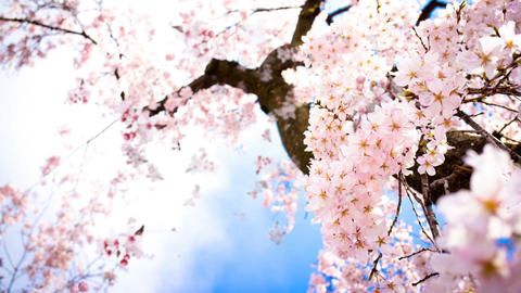 flowering cherry in spring on a sunny day Footage