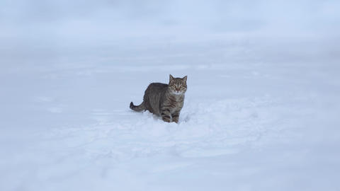 A gray homeless cat hides its head in the snow. He eats, plays, or catches his Live Action