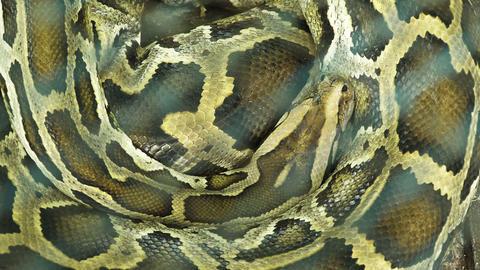 Burmese python sleeping Footage