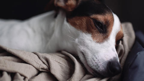 Small dog breed the Jack Russell Terrier lays on his place Footage