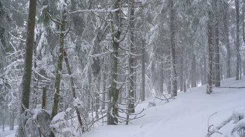 Snowstorm in a snowy mountain coniferous forest, uncomfortable unfriendly winter Footage