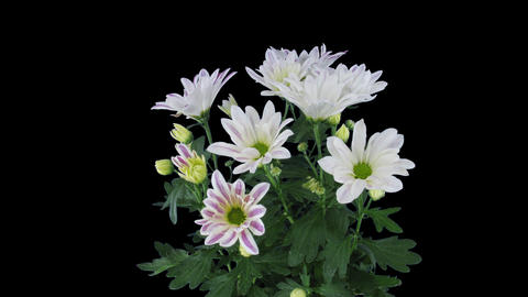Time-lapse of opening white-pink chrysanthemum flower with ALPHA channel Archivo