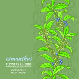osmanthus vector background Vector