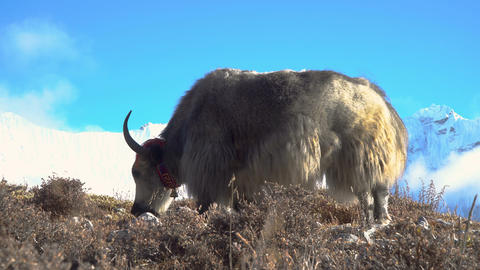 Yaks in the Himalayas Footage