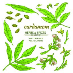 cardamom elements set Vector