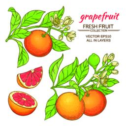 grapefruit vector set Vector