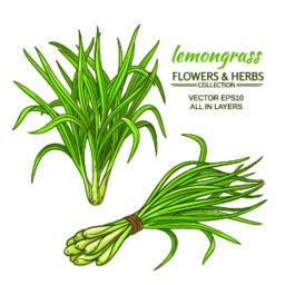 lemongrass vector set Vector
