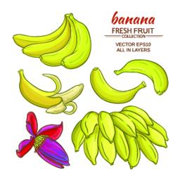 banana fruits vector set Vector