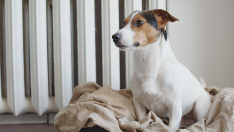 Cute Jack Russell Terrier on his place Live Action